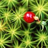 berry-2627902722-O